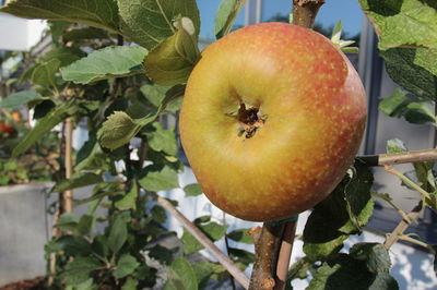 Urban Farming Apfelbeispiel